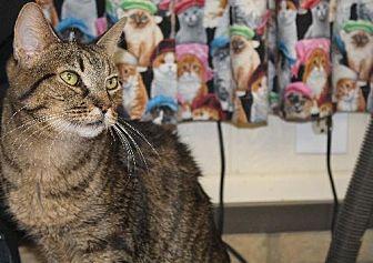 Domestic Shorthair Cat for adoption in Golden Valley, Arizona - Brazil