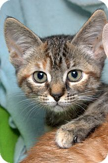 Domestic Shorthair Kitten for adoption in Lombard, Illinois - Blue