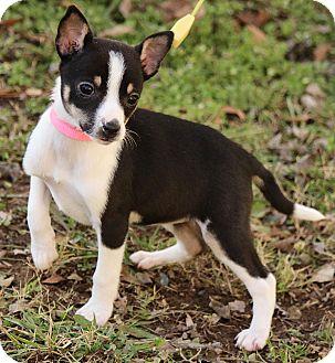 Rat Terrier Mix Puppy for adoption in Washington, D.C. - Ava