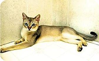 Singapura Cat for adoption in Davis, California - Raffles