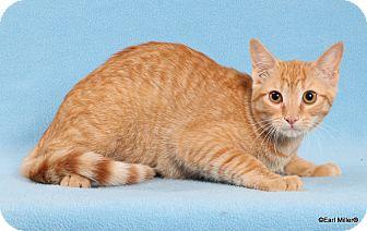 Domestic Shorthair Cat for adoption in Las Vegas, Nevada - Dusty Rose