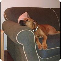 Adopt A Pet :: Scooby - Alexandria, VA