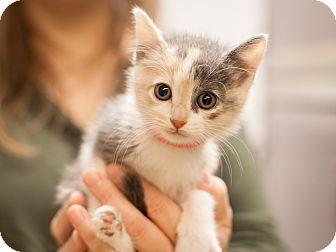 Domestic Shorthair Kitten for adoption in Dallas, Texas - Parfait