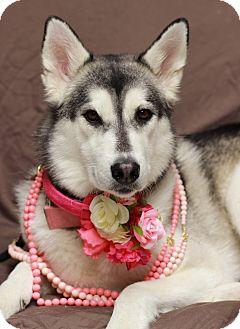 Husky Mix Dog for adoption in Twin Falls, Idaho - Saphira