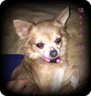 Chihuahua Dog for adoption in Denver, North Carolina - Daisy Mae