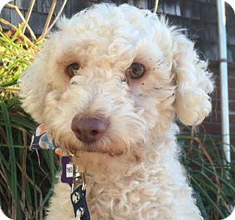 Miniature Poodle Dog for adoption in San Francisco, California - Theo
