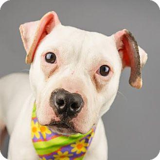 Terrier (Unknown Type, Medium) Mix Puppy for adoption in Columbia, Illinois - Nova