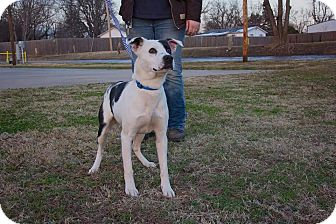 Labrador Retriever/Pit Bull Terrier Mix Dog for adoption in Glenpool, Oklahoma - Domino