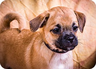 Terrier (Unknown Type, Small)/Pug Mix Puppy for adoption in Anna, Illinois - ARISTOTLE
