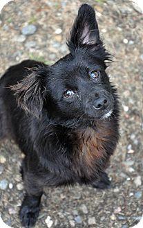Pomeranian/Papillon Mix Puppy for adoption in Lodi, California - Casey