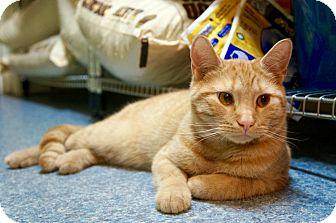 Domestic Shorthair Cat for adoption in New York, New York - Rascoe