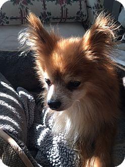 Pomeranian Dog for adoption in Wilmington, Delaware - Ollie