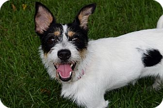 Wirehaired Fox Terrier/Cairn Terrier Mix Dog for adoption in Parsippany, New Jersey - MARLEY