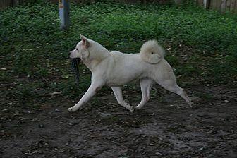 Akita Dog for adoption in Virginia Beach, Virginia - Roxy