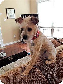 Miniature Schnauzer Mix Dog for adoption in Westport, Connecticut - Loki