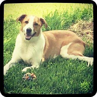 Australian Shepherd/Beagle Mix Puppy for adoption in Grand Bay, Alabama - Chambers
