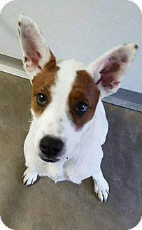 Cattle Dog Mix Puppy for adoption in Macomb, Illinois - Didi