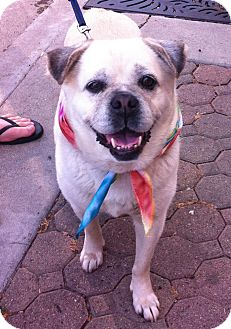 Pug/Beagle Mix Dog for adoption in Ojai, California - DELILAH