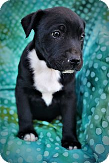 Labrador Retriever/Staffordshire Bull Terrier Mix Puppy for adoption in Hagerstown, Maryland - Kennedy