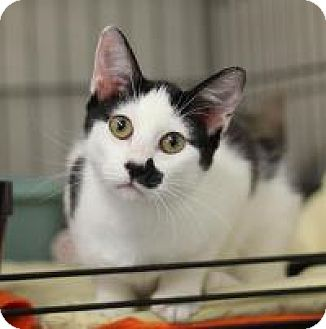 Domestic Shorthair Cat for adoption in Yukon, Oklahoma - KR 5 White with black girl