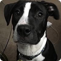 Adopt A Pet :: Stevie - Parsippany, NJ