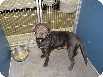Pit Bull Terrier Mix Dog for adoption in Henderson, North Carolina - Katy (HW Neg)