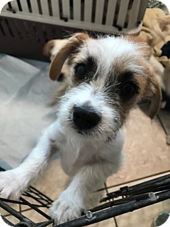Poodle (Miniature)/Terrier (Unknown Type, Small) Mix Puppy for adoption in cupertino, California - Dagwar FOSTER HOME NEEDED