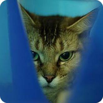 Domestic Shorthair Cat for adoption in Hilliard, Ohio - Padme