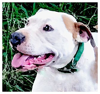 American Pit Bull Terrier/American Staffordshire Terrier Mix Dog for adoption in Sacramento, California - Betty Boop family dog