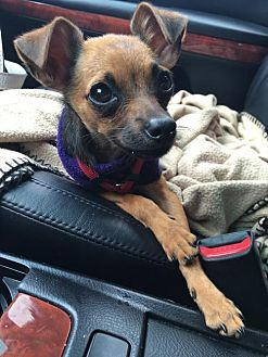 Chihuahua Mix Puppy for adoption in Seattle, Washington - Jerry