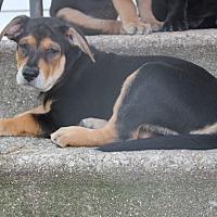 Adopt A Pet :: Captain - Joliet, IL