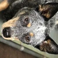 Adopt A Pet :: ACD Rebel King - Remus, MI