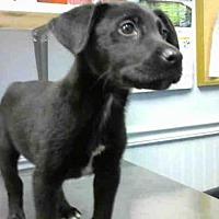 Adopt A Pet :: BANDIT - Atlanta, GA