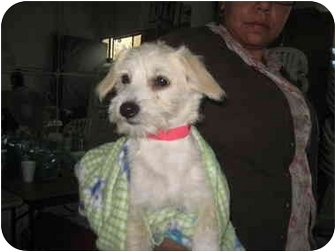 Terrier (Unknown Type, Small)/Schnauzer (Miniature) Mix Puppy for adoption in San Ysidro, California - Sophie