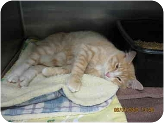 Domestic Shorthair Cat for adoption in Grants Pass, Oregon - TC