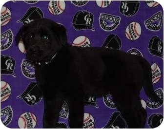Labrador Retriever/German Shepherd Dog Mix Puppy for adoption in Broomfield, Colorado - Rockette