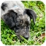 Photo 1 - Catahoula Leopard Dog/Dachshund Mix Puppy for adoption in Houston, Texas - Logan