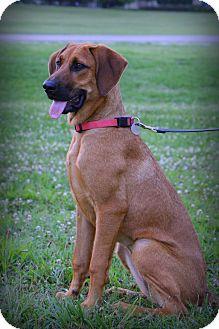 Hound (Unknown Type)/Redbone Coonhound Mix Dog for adoption in Hamburg, Pennsylvania - Red Rosie