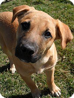 Shepherd (Unknown Type)/Mastiff Mix Puppy for adoption in Jerome, Idaho - Pyle #5233