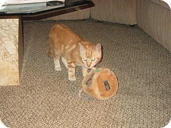 Domestic Shorthair Kitten for adoption in Monroe, North Carolina - Fella