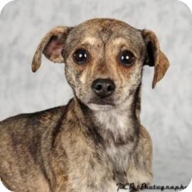 Chihuahua Mix Dog for adoption in Columbus, Georgia - Peanut 1856