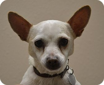 Chihuahua Mix Dog for adoption in Gilbert, Arizona - Kush