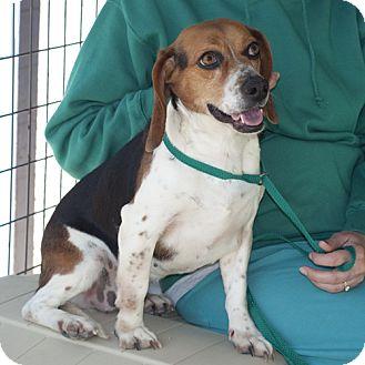 Beagle Mix Dog for adoption in New Martinsville, West Virginia - Sue Ellen