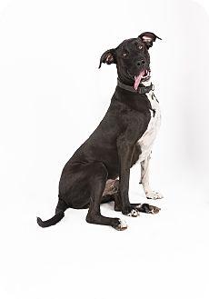 Great Dane/Labrador Retriever Mix Dog for adoption in Mesa, Arizona - Hendrix