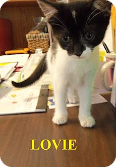 Domestic Shorthair Kitten for adoption in Franklin, North Carolina - LOVIE