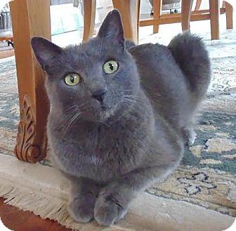Domestic Shorthair Cat for adoption in Marietta, Georgia - Boris