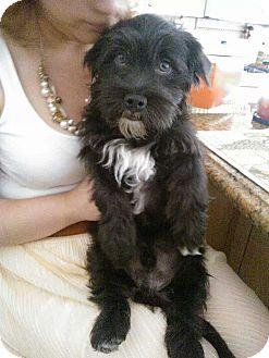 Schnauzer (Miniature)/Maltese Mix Dog for adoption in San Dimas, California - Rocky