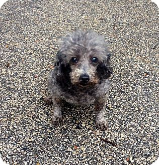 Poodle (Miniature) Dog for adoption in Muskegon, Michigan - Grace