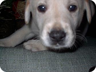 Labrador Retriever Mix Puppy for adoption in Chesterfield, Michigan - Buddy 2014 (m/c)