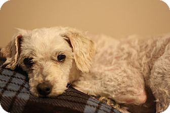 Miniature Poodle Mix Dog for adoption in Troy, Michigan - Violet